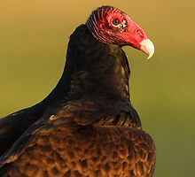 Turkey Vulture Portrait by William C. Gladish