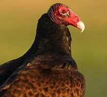 Turkey Vulture Portrait by William C. Gladish