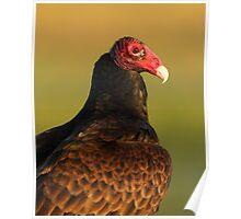 Turkey Vulture Portrait Poster