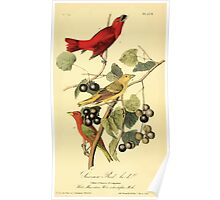 James Audubon Vector Rebuild - The Birds of America - From Drawings Made in the United States and Their Territories V 1-7 1840 - Summer Red Bird Poster