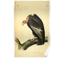 James Audubon Vector Rebuild - The Birds of America - From Drawings Made in the United States and Their Territories V 1-7 1840 - California Turkey Vulture Poster