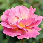 Fully Open Pink Rose by Kathleen Brant