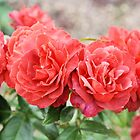 Band of Roses by Kathleen Brant