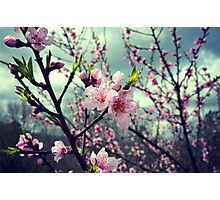 Cherry Blossoms and a Thunder Storm Photographic Print