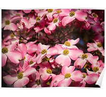 Welcome Spring - Pink Dogwood Poster