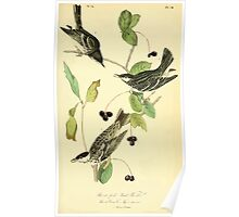 James Audubon Vector Rebuild - The Birds of America - From Drawings Made in the United States and Their Territories V 1-7 1840 - Black Poll Wood Warbler Poster