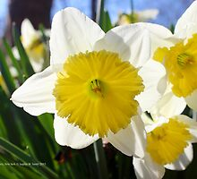 Narcissus Avalanche | Center Moriches, New York by © Sophie W. Smith