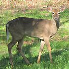White Tail Deer by Ginny York