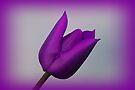 A Purple Tulip by Sandy Keeton