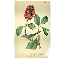 James Audubon Vector Rebuild - The Birds of America - From Drawings Made in the United States and Their Territories V 1-7 1840 - Bonapart's Flycatching Warbler Poster