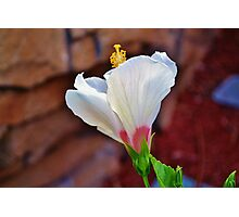 White Hibiscus Flower Photographic Print