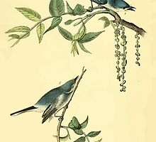 James Audubon Vector Rebuild - The Birds of America - From Drawings Made in the United States and Their Territories V 1-7 1840 - Blue Grey Flycatcher by wetdryvac