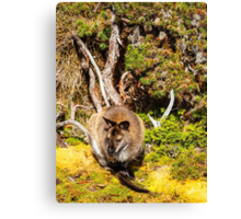 Bennetts Wallaby Canvas Print