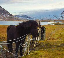 horse farm, Grundarfjordur, Snaefellsnes, Iceland by Mike Kunes