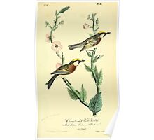 James Audubon Vector Rebuild - The Birds of America - From Drawings Made in the United States and Their Territories V 1-7 1840 - Chestnut Sided Wood Warbler Poster