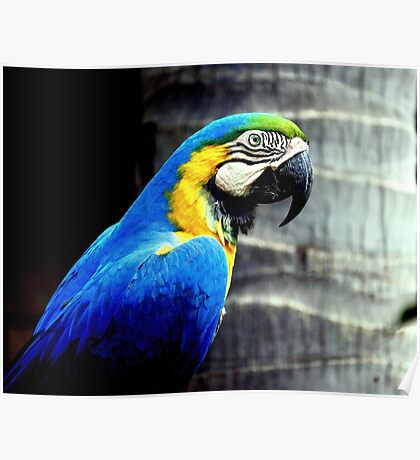 Profile of a Blue & Gold Macaw Poster