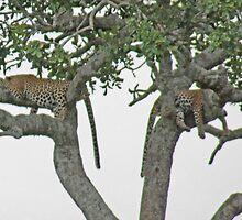 Leopard Siesta, Serengeti National Park, Tanzania, Africa by Adrian Paul