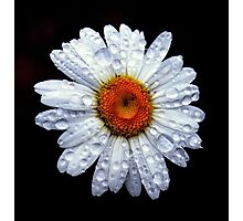 Rain Catcher Daisy Photographic Print