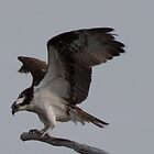 osprey coming in for a landing by marianne troia