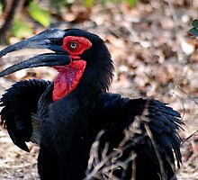 THE SOUTHERN GROUND HORNBILL by Magriet Meintjes