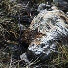 19.4.2015: Dead Fox III by Petri Volanen