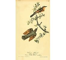 James Audubon Vector Rebuild - The Birds of America - From Drawings Made in the United States and Their Territories V 1-7 1840 - Varied Thrush Photographic Print