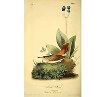 James Audubon Vector Rebuild - The Birds of America - From Drawings Made in the United States and Their Territories V 1-7 1840 - Rock Wren Photographic Print