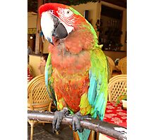 Harlequin Macaw On A Perch Photographic Print