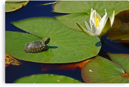 Baby Turtle and Water Lilly by mwfoster