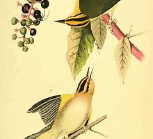 James Audubon Vector Rebuild - The Birds of America - From Drawings Made in the United States and Their Territories V 1-7 1840 - Worm Eating Swamp Warbler by wetdryvac