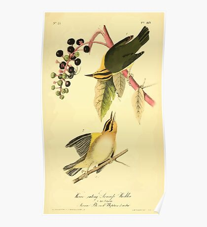 James Audubon Vector Rebuild - The Birds of America - From Drawings Made in the United States and Their Territories V 1-7 1840 - Worm Eating Swamp Warbler Poster