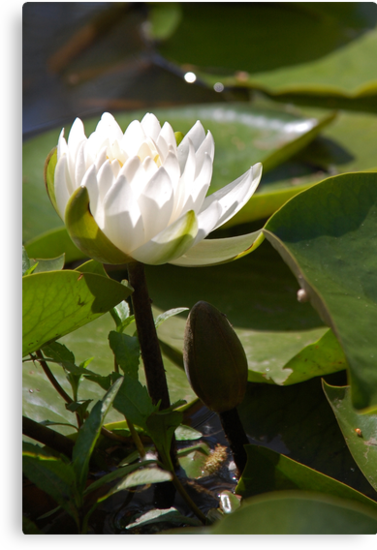 Water Lilly by mwfoster