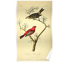 James Audubon Vector Rebuild - The Birds of America - From Drawings Made in the United States and Their Territories V 1-7 1840 - Common Pine Finch Poster