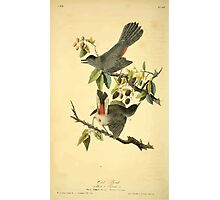 James Audubon Vector Rebuild - The Birds of America - From Drawings Made in the United States and Their Territories V 1-7 1840 - Cat Bird Photographic Print