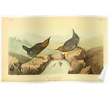 James Audubon Vector Rebuild - The Birds of America - From Drawings Made in the United States and Their Territories V 1-7 1840 - American Dipper Poster