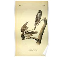 James Audubon Vector Rebuild - The Birds of America - From Drawings Made in the United States and Their Territories V 1-7 1840 - Hawk Owl Poster