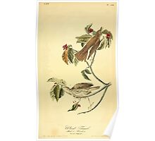 James Audubon Vector Rebuild - The Birds of America - From Drawings Made in the United States and Their Territories V 1-7 1840 - Wood Thrush Poster