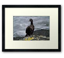 Rock Shag Cormorant Framed Print