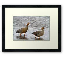 Ruddy Headed Geese Framed Print