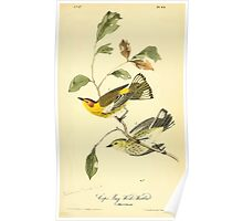 James Audubon Vector Rebuild - The Birds of America - From Drawings Made in the United States and Their Territories V 1-7 1840 - Cape May Wood Warbler Poster