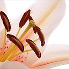 Lillium.... by Janine  Hewlett