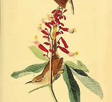 James Audubon Vector Rebuild - The Birds of America - From Drawings Made in the United States and Their Territories V 1-7 1840 - Great Carolina Wren by wetdryvac