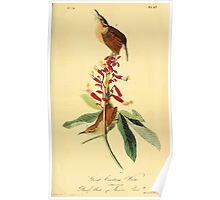 James Audubon Vector Rebuild - The Birds of America - From Drawings Made in the United States and Their Territories V 1-7 1840 - Great Carolina Wren Poster