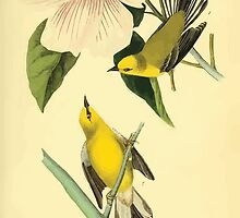 James Audubon Vector Rebuild - The Birds of America - From Drawings Made in the United States and Their Territories V 1-7 1840 - Blue Winged Yellow Swamp Warbler by wetdryvac