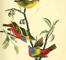 James Audubon Vector Rebuild - The Birds of America - From Drawings Made in the United States and Their Territories V 1-7 1840 - Painted Bunting by wetdryvac