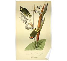 James Audubon Vector Rebuild - The Birds of America - From Drawings Made in the United States and Their Territories V 1-7 1840 - American Golden Crested Kinglet Poster
