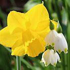 Daffodil & Snowbells by AnnDixon