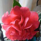 Camellia by hilarydougill
