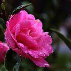 Beautiful Pink Camellias by myraj