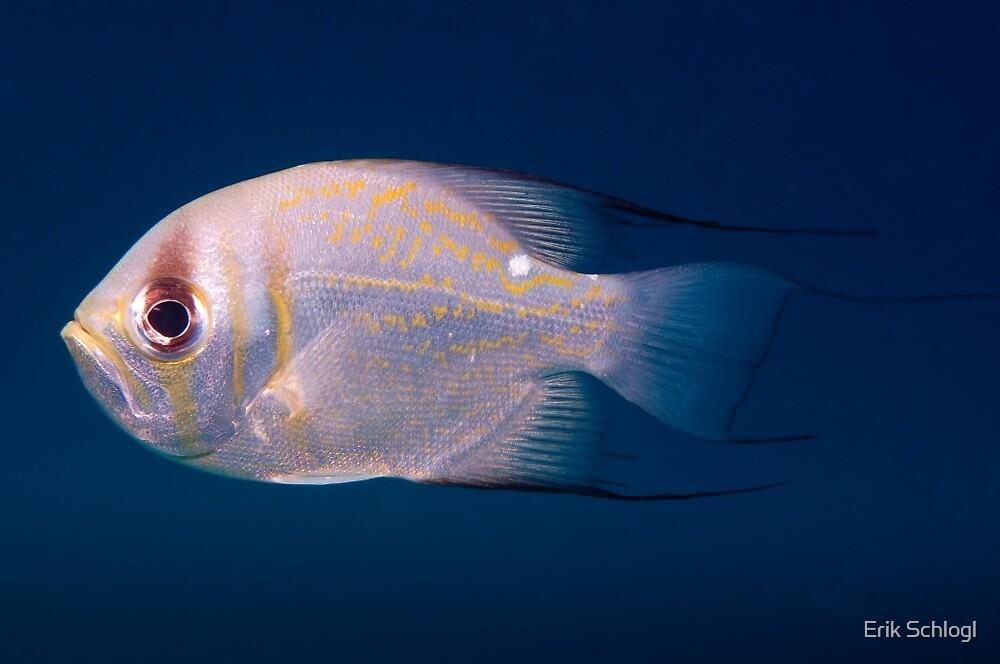 Threadfin Pearl Perch, Ningaloo Reef by Erik Schlogl
